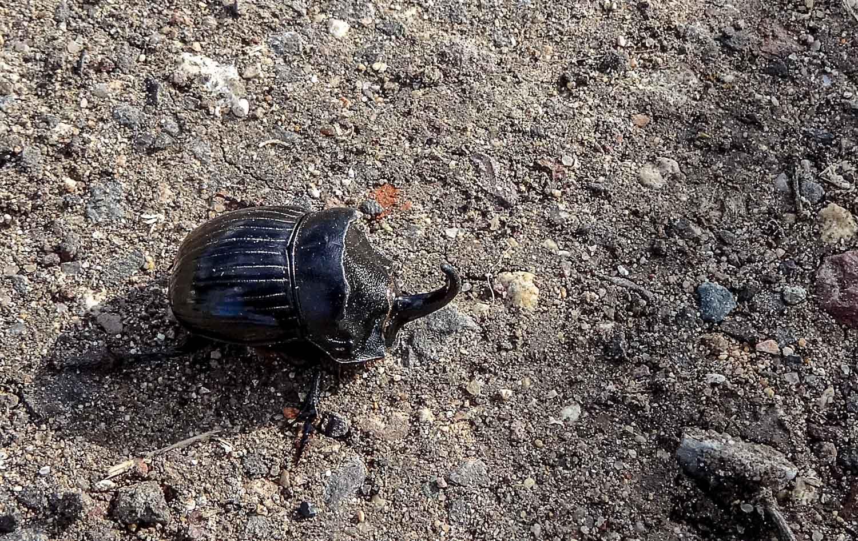 Кажется, это жук-носорог