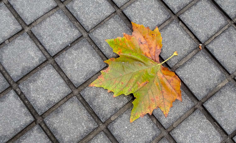 Красивый кленовый лист нашли