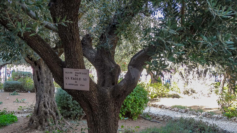 Одна из восьми древнейших олив в Гефсиманском саду