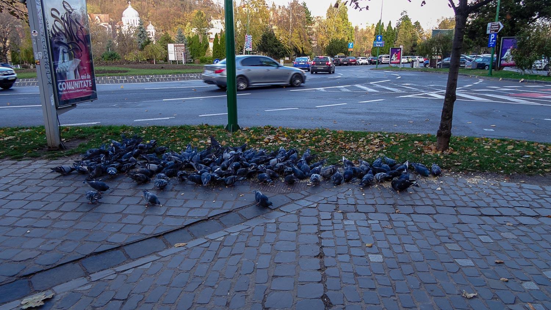 Сборище голодных голубей