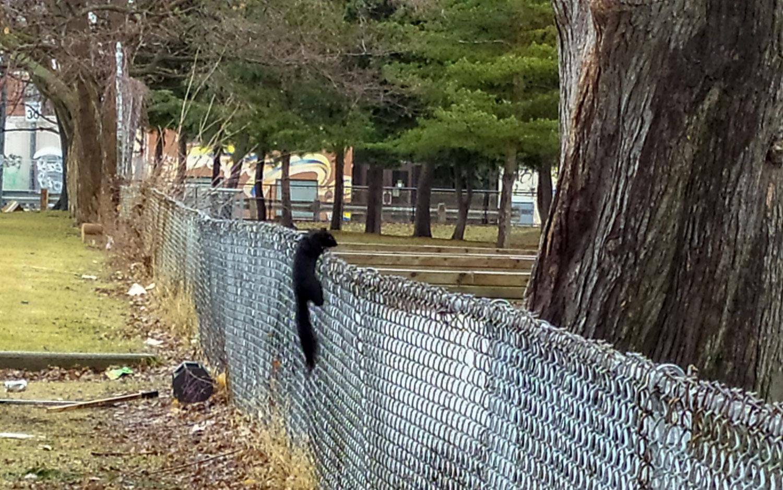 Белка прыгает через забор