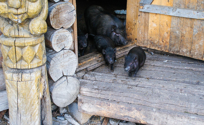Свинок выпустили