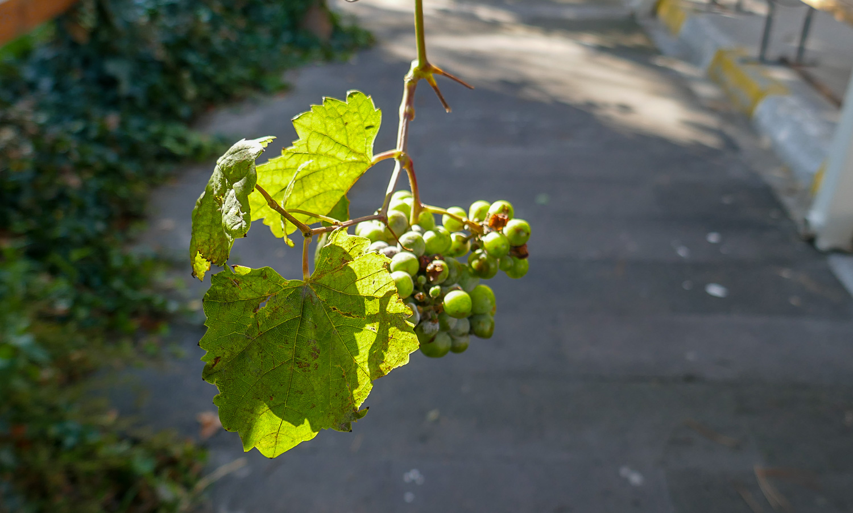 И виноград созревает